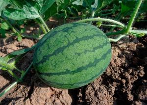 1606Regaber Cultivos Horticolas Sandia 01
