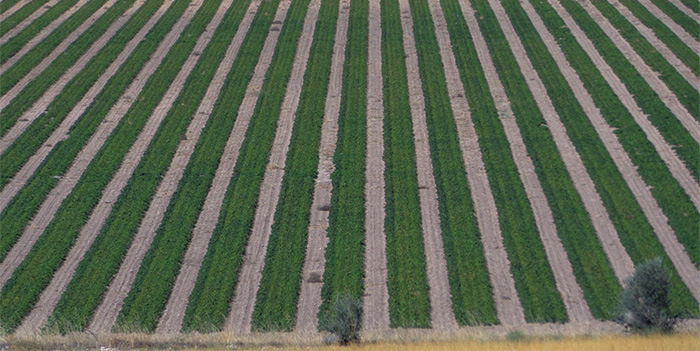 1703Regaber Referencias Agricultura YeclaMurcia Aromaticas 02